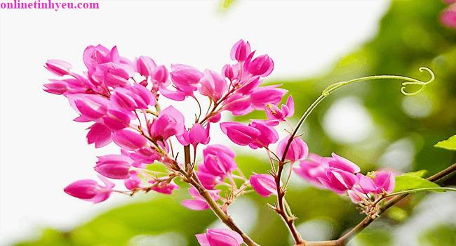 Hai sắc hoa Ti-gôn