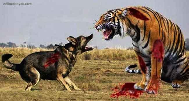 Mãnh hổ và con chó điên