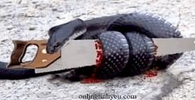 Con rắn và cái cưa
