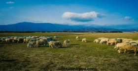 Bầy cừu và những con sói