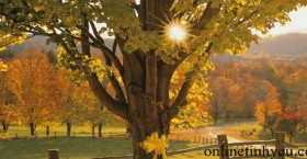 Dải ruy băng vàng trên cây sồi già